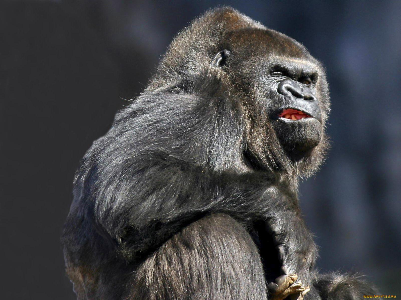 картинка злой обезьян